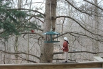 Spotting the Cardinal is easy, but where's the Titmouse. Sparrow,  and Nuthatch?