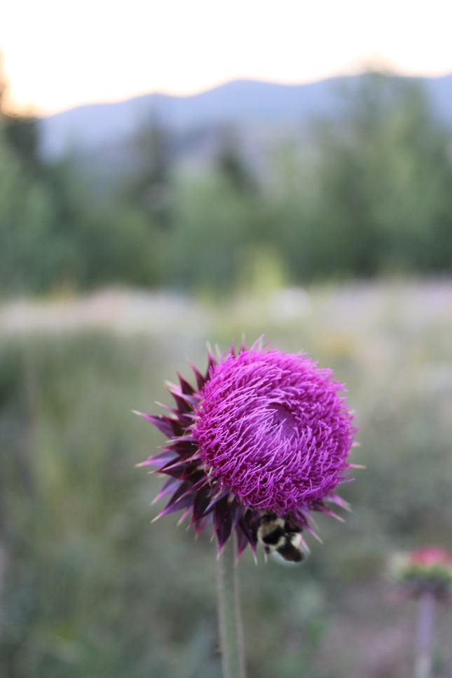 Thistle growing at 9,000 ft., with bumblebee, Colorado Rockies, @ 2013 www.CatherineEmclean.com